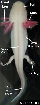 Diagram of external features of the axolotl