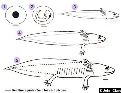 Axolotl life cycle